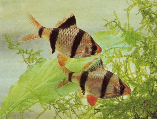Аквариумные рыбки скалярии содержание и совместимость ...