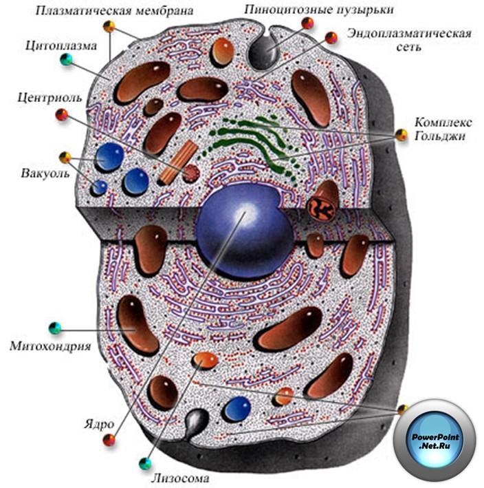 эукариотическая клетка.jpg